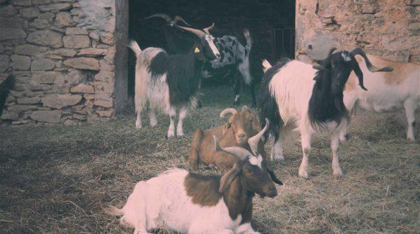 Rallye découverte nature : les chèvres du Rove